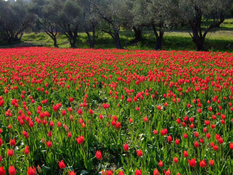 TULIPS RED GREEN