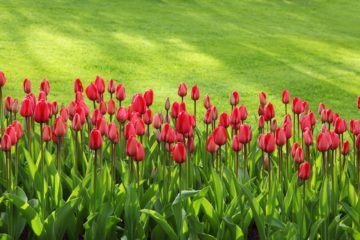 TULIPS GREEN RED